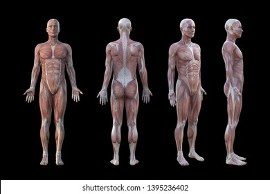 3D Rendering. a standing male body illustration with muscle tissues display on Black background