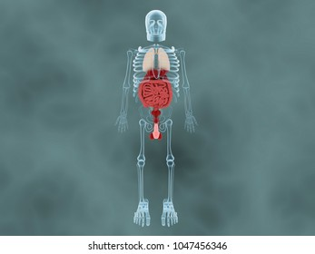 3d rendering Urinary system with skelton