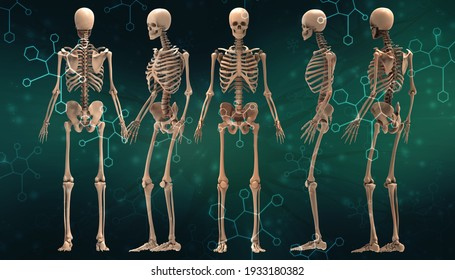 3d renderings of human skeleton