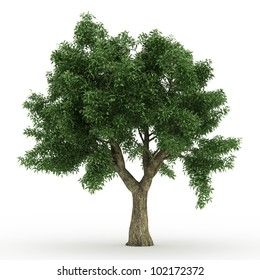 3d Sessile Oak  tree isolated over white