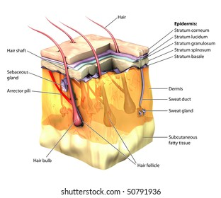 3D skin oblique with cut away epidermis labeled