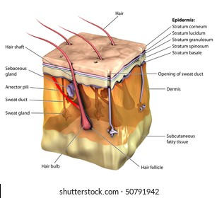 3 d skin oblique cut away epidermis stock illustration 50791936 rh shutterstock com Animal Cell Diagram Labeled Animal Cell Diagram