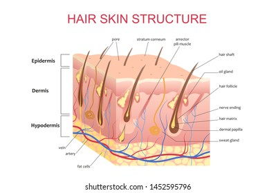 3D structure of the hair skin scalp, anatomical education infographic information poster illustration.