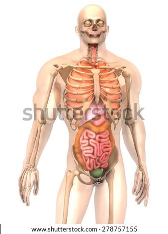 3 D Visualization Human Anatomy Internal Organs Stock Illustration ...