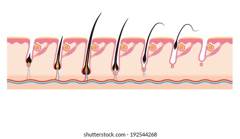 7 stage life of the hair cycle hair