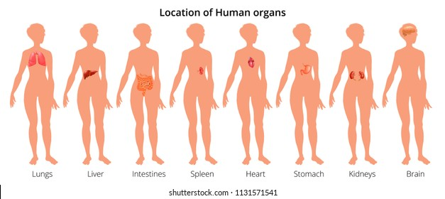9 human body organ systems realistic educative anatomy physiology front back view flashcards poster  illustration