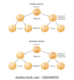 Abnormal Chromosome Inheritance. Nondisjunction. Normal and abnormal meiosis