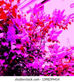 Abstract Bush blooming lilac on the background of the house in pink, red, black and other shades.