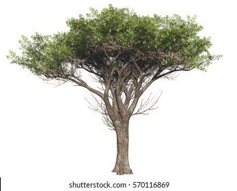 Acacia tree isolated on white background, 3 d render