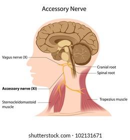 Accessory nerve
