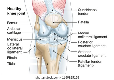 Accurate medically illustration showing knee joint with ligaments, meniscus, articular cartilage, femur and tibia.