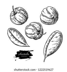 Acerola fruit drawing set. Barbados cherry sketch. Vintage engraved illustration of superfood. Hand drawn icon for label, poster, packaging design.