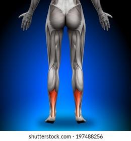 Achilles Tendon - Female Anatomy Muscles