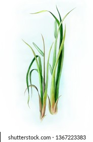 Acorus calamus - also called sweet flag or calamus. Leaf calamus with inflorescence grow. Watercolor i