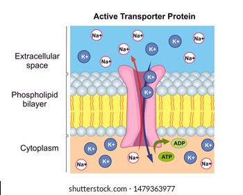 Active transport of ions across the cell membrane is performed by ATPase pumps or transporter proteins. In  active transport ions are moving against the concentration gradient.