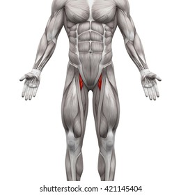 Adductor Brevis and Longus - Anatomy Muscles isolated on white - 3D illustration
