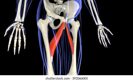 Adductor long lateral projection