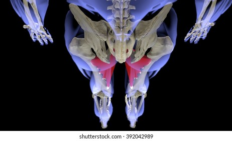 adductor longus upper projection