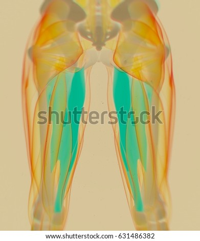 Adductor Magnus Female Muscle Anatomy Leg Stock Illustration ...
