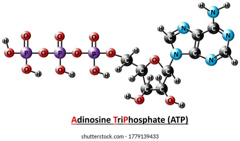 Adenosine triphosphate (ATP), energy-carrying molecule found in the cells of all living things