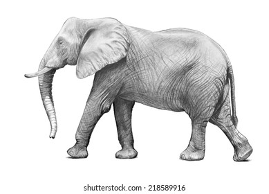 An adult African elephant walking in a side view pose in a hand drawn pencil sketch illustration isolated on a white background. This large zoo animal has big ears and a trunk with wrinkled skin.