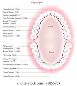 Adult dental chart. Eruption time.