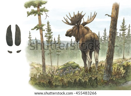 Adult European moose / elk bull (Alces alces) in forest including track footprint