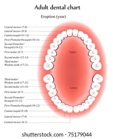 Adult Teeth anatomy.  Shows eruption time and dental titles.