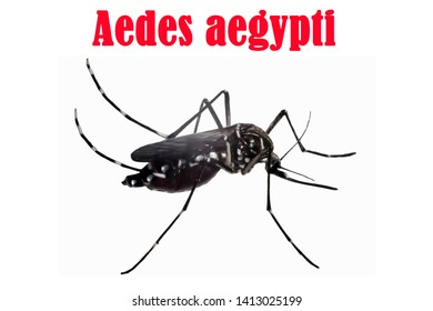 Aedes aegypti illustration red letters symbol
