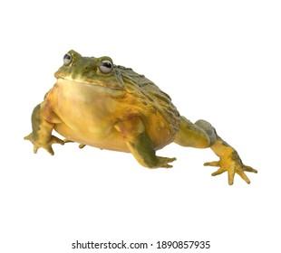 African Bullfrog 3D illustration on white background