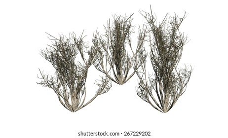 African Olive shrub cluster winter - isolated on white background