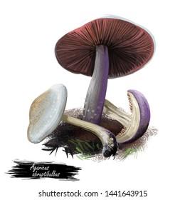 Agaricus abruptibulbus abruptly-bulbous agaricus or flat-bulb mushroom edible fungus isolated on white. Digital art illustration, natural food, package label. Autumn harvest fungi on grass