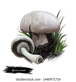 Agaricus arvensis horse mushroom, genus Agaricus. Edible fungus isolated on white. Digital art illustration, natural food, package label. Autumn harvest fungi on green grass with text