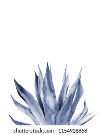 Agave plant. Blue leaves.  Watercolour illustration on white.
