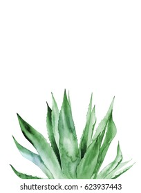 Agave Plant. Watercolor illustration on white.
