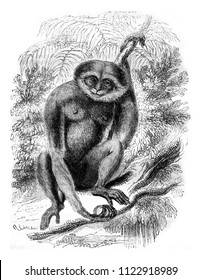 Agile Gibbon, vintage engraved illustration. Magasin Pittoresque 1841.