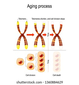 Aging process. A telomere located at the ends of chromosomes. Each time a cell divides, the telomeres become shorter. illustration for medical, educational, biologycal and science use