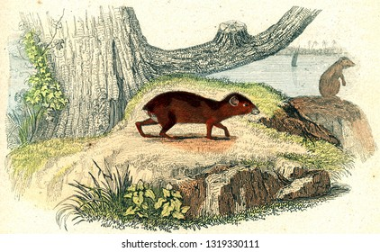 The agouti, vintage engraved illustration. From Buffon Complete Work.
