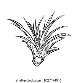 Air plant Tillandsias cactus for fashion design. Cacti mood sketchy hand drawn style illustration. Succulent terrarium element. Wild floral exotic tropical flower. Raster.