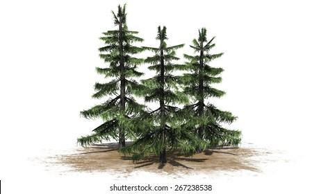 Alaska Cedar tree cluster - isolated on white background