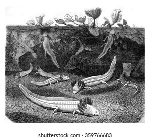 Albino Axolotl or Mexican salamander or Mexican walking fish, vintage engraved illustration. Magasin Pittoresque 1878.