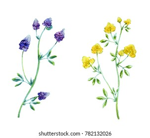 Alfalfa (Medicago sativa, lucerne). Hand drawn watercolor illustration of alfalfa plant with flowers isolated on white background.
