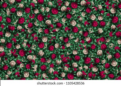 Alice in Wonderland. Red  roses and white roses  background.
