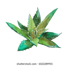 Aloe plant. Watercolor illustration isolated on white background.