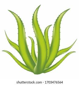 Aloe Vera plant illustration artwork