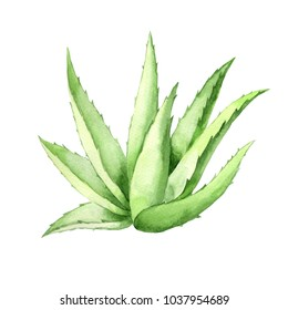 Aloe Vera plant on white Background. Watercolor agave, aloe vera,succulent,  green plant. Botanical illustration of Aloe Vera.