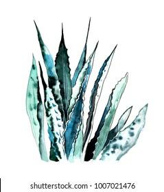 Aloe watercolor illustration