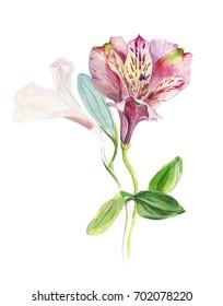 Alstroemeria. Botanical watercolor illustration