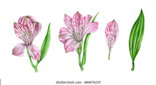 Alstroemeria watercolor, isolated