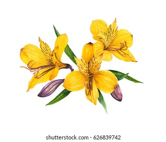 Alstroemeria watercolor isolated on white